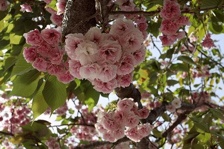 2009.04.26 赤レンガ倉庫 八重桜
