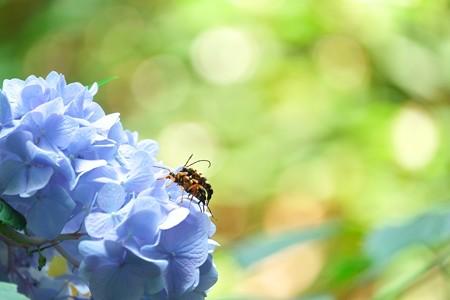 2014.06.19 瀬谷市民の森 アジサイにヨツスジハナカミキリ