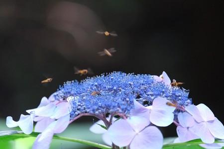 2014.07.08 瀬谷市民の森 アジサイにホソヒラタアブ 制空