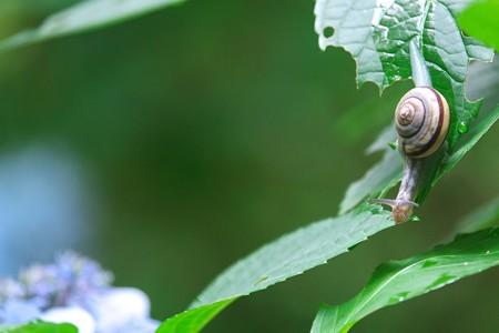 2014.07.08 瀬谷市民の森 ミスジマイマイの向こうにアジサイ色