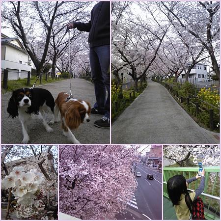 桜並木へ♪