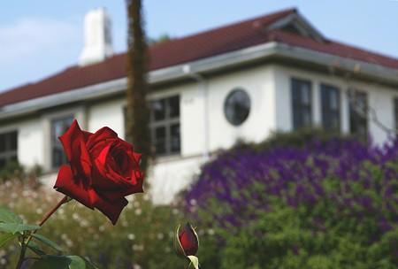 紅い薔薇と・・