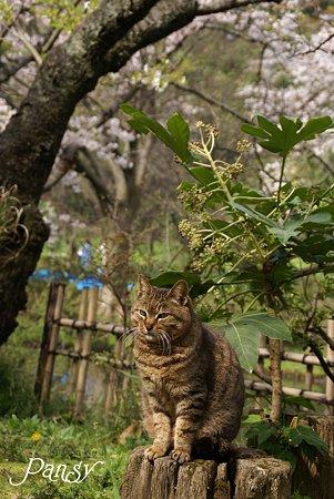 桜の樹の下で・・ 三渓園の猫