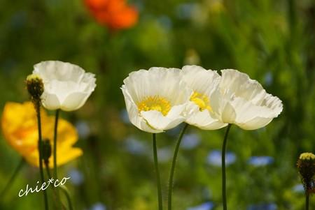 くりはま花の国-028