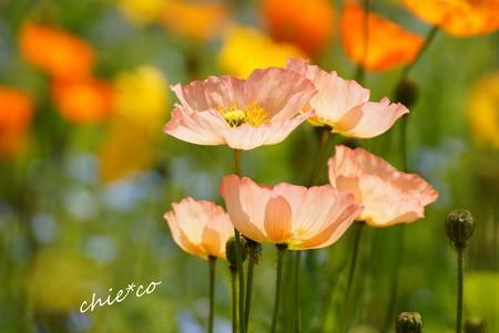 くりはま花の国-037