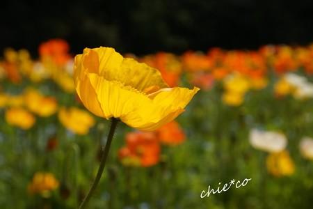くりはま花の国-045