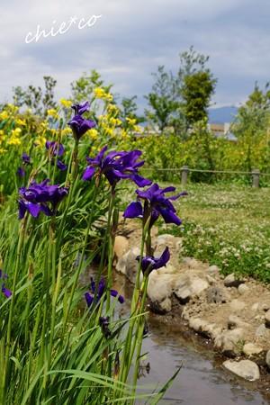 花菜ガーデン-111