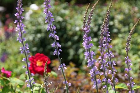 花菜ガーデン-365