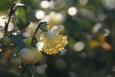 茶の花・・・