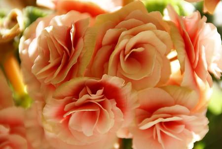 薔薇のように・・・ベゴニア
