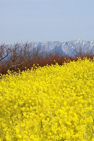 雪を被った山と菜の花  吾妻山にて・・
