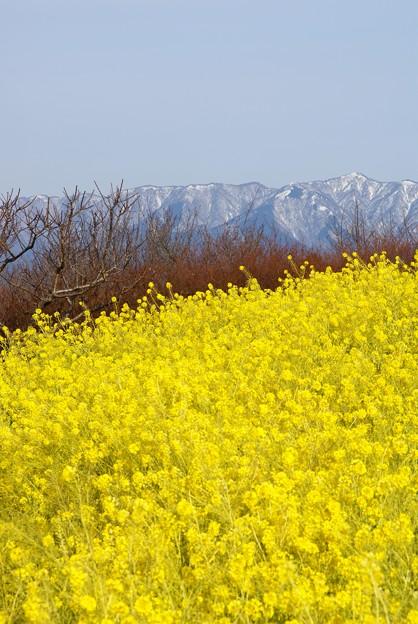写真: 雪を被った山と菜の花  吾妻山にて・・