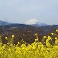 写真: 菜の花と・・富士のある風景