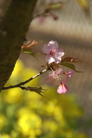 可憐~♪ 三浦の河津桜~♪