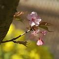 写真: 可憐~♪ 三浦の河津桜~♪