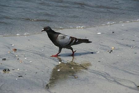 波打ち際の鳩・・