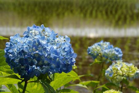 田んぼの紫陽花~♪