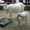 山羊の母子