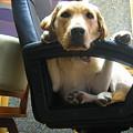 Photos: 椅子に座る犬
