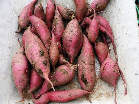 サツマイモの収穫1