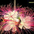碁盤の脚 夜咲く花