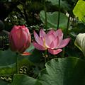 写真: 紅い蓮の花大巧寺0719ty