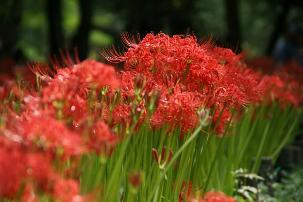Photos: 曼珠沙華の花が勢揃い、満開です。0920a