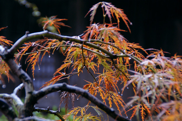 写真: 紅枝垂れも色づく、海蔵寺。(11/9)