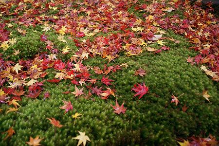 晩秋の京都、苔庭に落ちた紅葉。