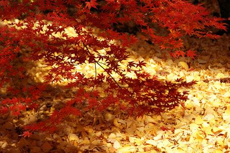 紅葉とイチョウのコラボレーション。