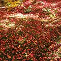 写真: 苔庭の落ちた紅葉にも魂を感じます。見事でしょ!