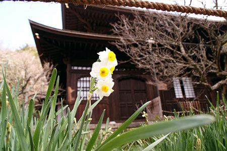 水仙が咲き始めた瑞泉寺1220e