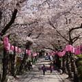 満開の桜のトンネル、称名寺14!