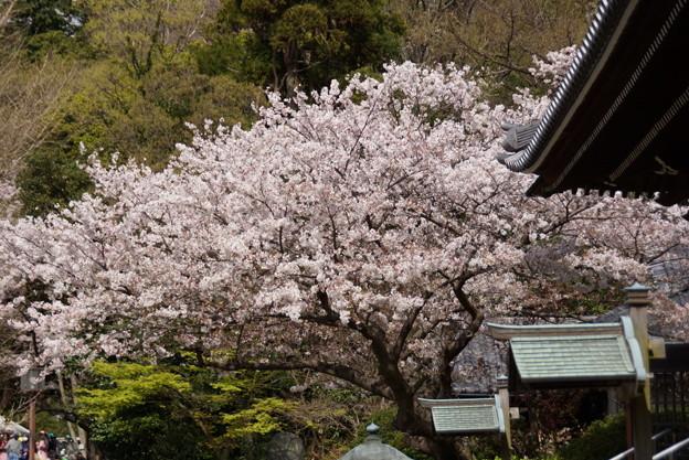 本堂前の桜、称名寺14!