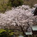Photos: 本堂前の桜、称名寺14!