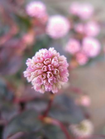 ヒメツルソバの花0202ta