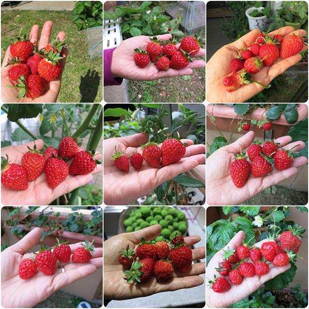 イチゴ収穫記録