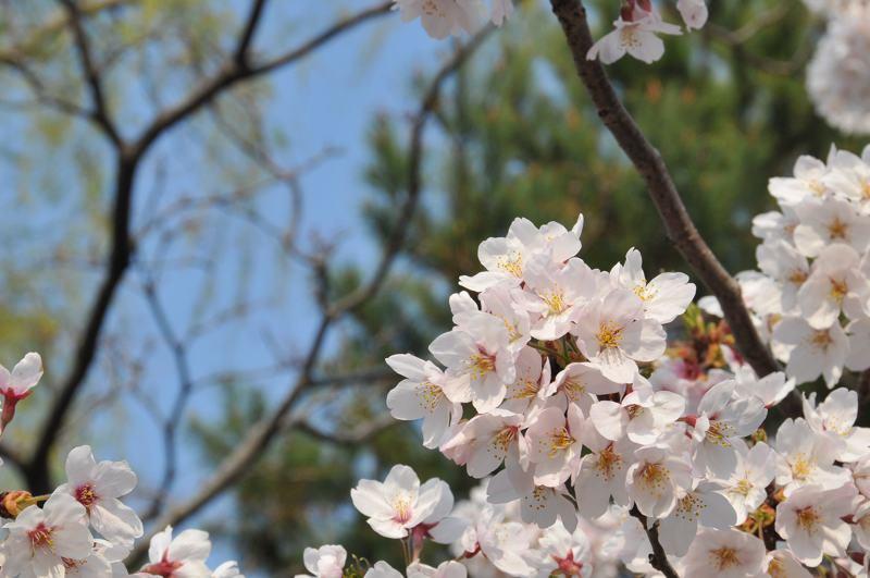 霞ヶ浦の桜