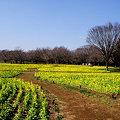 Photos: 春: 菜の花いっぱい