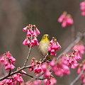 写真: 090222メジロと寒緋桜(1/2)
