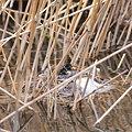 写真: 090314カイツブリの雛