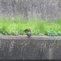 写真: 090328カワセミの交尾(6/10)