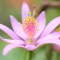 写真: 睡蓮木花