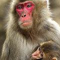 親子猿(3)