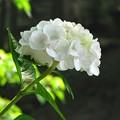 Photos: 「紫陽花」 ・・・・・・