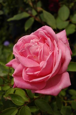 夏の薔薇2
