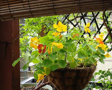 雨上がりに・・・金連花♪