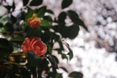 夜桜の影で