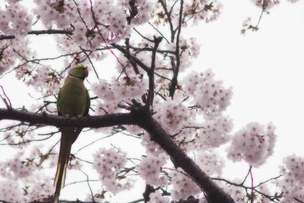 Photos: インコの見る桜