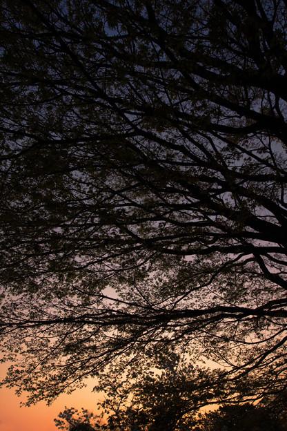 葉桜の渋み